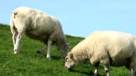 Sheeps grazing
