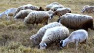 Sheeps in dry grass field