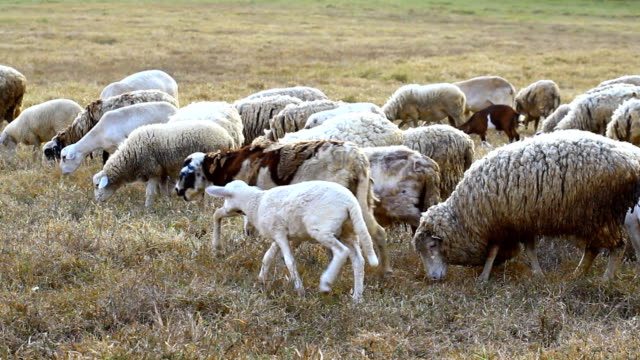 Sheeps in dry grass field