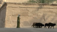 WS Shepherd leading flock of sheep in front of Temple of Madinet habou, Luxor, Egypt