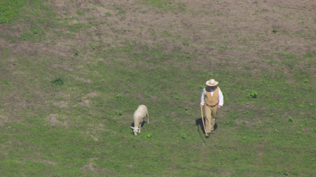 WS AERIAL POV Shepherd walking with his sheep in field / Iowa, United States