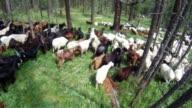 Shepperd herding goats and sheeps through the woods