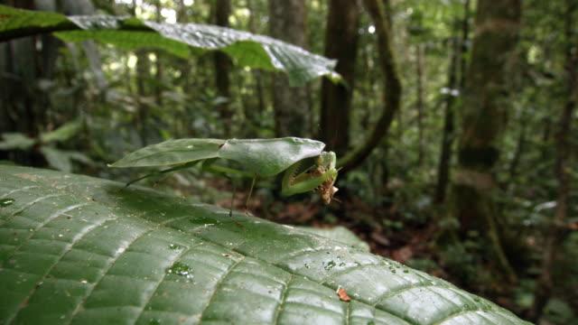 Shield mantis (Choeradodis rhomboidea) camouflaged on a large leafed shrub, family Melastomataceae and eating a moth in the Ecuadorian Amazon