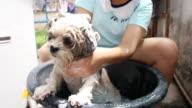 Shih Tzu bath