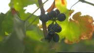 Shining Vineyard Grapes, Provence