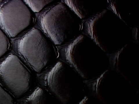 Shiny scales of Indigo snake, USA