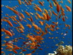 A shoal of bright orange anthias darting about in a blue sea over a coral reef.