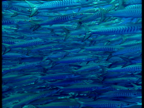 Shoal of chevron barracuda swimming left to right.