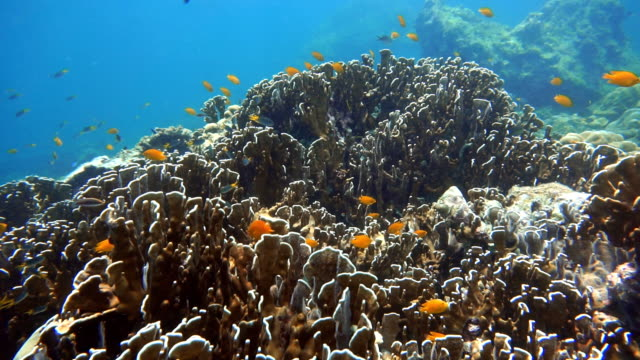 Shoal of Damselfish (Pomacentrus moluccensis) on Fragile Coral Reef Ecosystem Ocean Environment.  Using the reef as protection from predators at Koh Haa Islands, Krabi, Andaman Sea, Thailand.