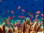 Shoal of scalefin Anthias swim over coral reef, Sulawesi