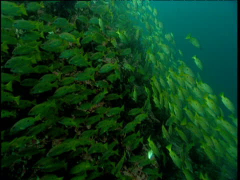 Shoal of snappers, tilt up coral sea mount to whale shark swimming overhead, Phuket