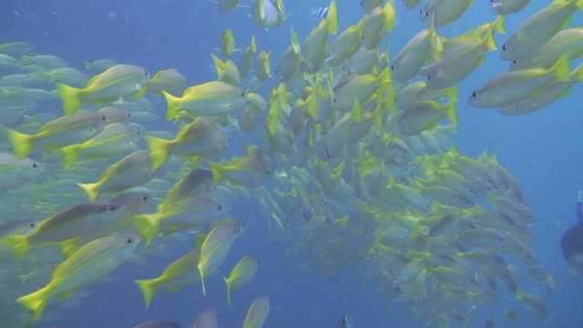 Shoal of Yellowtail Snapper
