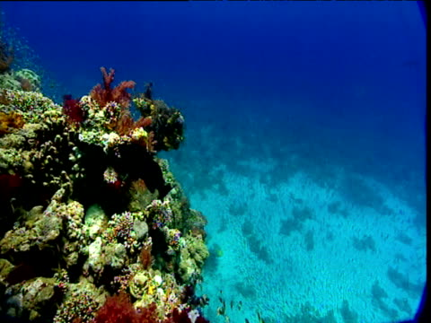 Shoals of jacks and silversides swim over coral reef, Red Sea