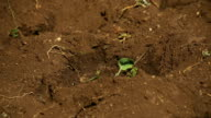 MCU shoots from soil on farm, KwaZulu Natal, South Africa