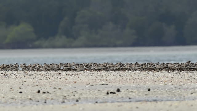 Shorebird, Migrant birds in Thailand coastline