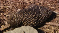 MS Short-beaked Echidna (Tachyglossus aculeatus) sniffing for food in mulch and among rocks, Sydney, New South Wales, Australia