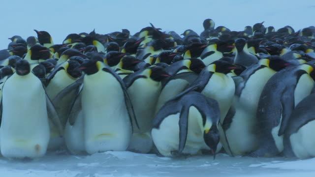 'MS Shot PAN Emperor penguin massed huddle with penguins struggling in blizzard / Dumont D Urville Station, Adelie Land, Antarctica '