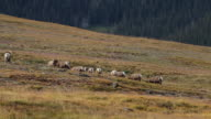 WS  shot of 13 bighorn sheep rams (Ovis canadensis) head butting and running down a tundra hillside