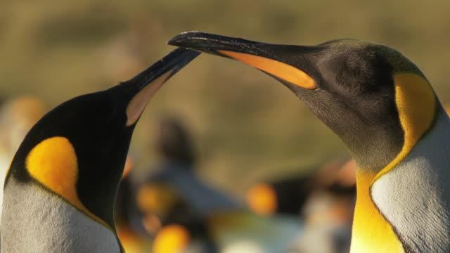 CU Shot of 2 King Penguins Aptenodytes patagonicus standing together eyes closed / Volunteer Point, Falkland Islands