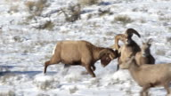MS/SLOMO  shot of 2 massive bighorn sheep rams (Ovis canadensis) fighting and headbutting in the snow