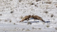 MS  shot of 2 massive bighorn sheep rams (Ovis canadensis) headbutting in the snow