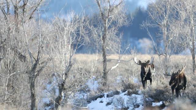 WS 4K shot of 2 massive bull moose (Alces alces) on a cold frosty sunrise