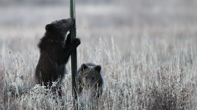 MS  4K shot of 2 tiny grizzly bear cubs (Ursus arctos) standing up and playing with a fence post