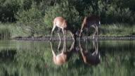MS 4K shot of 2 White-tailed deer (Odocoileus virginianus) bucks playing on a lake shore