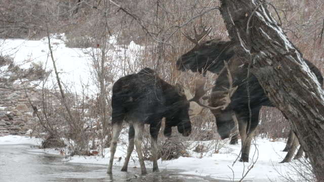 MS 4K shot of 3 bull moose (Alces alces) fighting near a stream during the rut