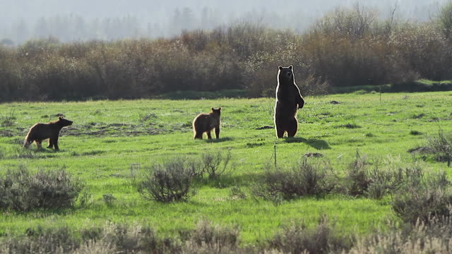 WS shot of 3 grizzly bears (Ursus arctos) walking, standing and running in the meadow