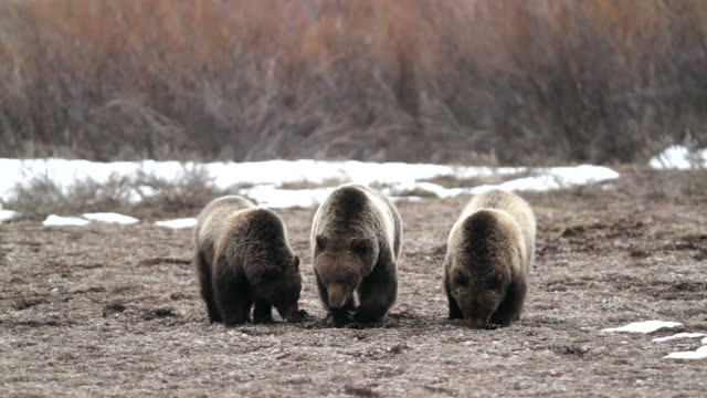 MS shot of 3 grizzly bears (Ursus arctos) walking toward the camera