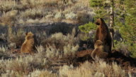 MS  shot of 3 large grizzlies (Ursus arctos) feeding on a moose carcass at sunrise in the fall