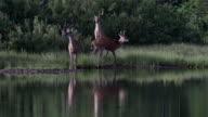 MS 4K shot of 3 White-tailed deer (Odocoileus virginianus) bucks playing on a lake shore