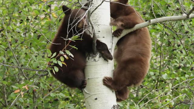 MS  shot of a 2 black bear cubs (Ursus americanus) climbing up an aspen tree