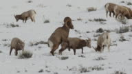 WS/MS  shot of a bighorn sheep ram (Ovis canadensis) running while mating with a ewe during the rut