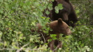 MS/TS  shot of a black bear sow with cubs of the year (Ursus americanus) eating berries in a tree