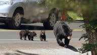 MS  shot of a black bear (Ursus americanus) with three tiny cubs, crossing a busy road