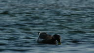 Shot of a brent goose eating prey on the river
