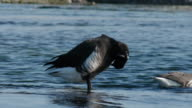 Shot of a brent goose grooming at the river