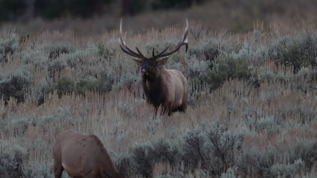 MS 4K shot of a bull elk and cow (Cervus canadensis) interacting/mating during the rut