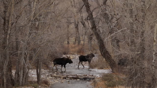 WS shot of a bull moose (Alces alces) and cow crossing a stream during the rut