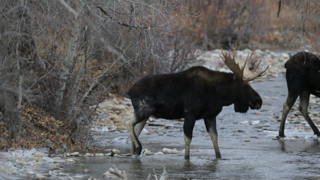 MS 4K shot of a bull moose (Alces alces) and cow crossing a stream during the rut