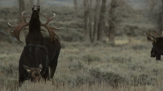 MS  shot of a bull moose and cow (Alces alces) in the rut, exhibiting the flehmen response at dusk