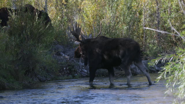 MS 4K shot of a bull moose and cow (Alces alces) walking across the Snake River