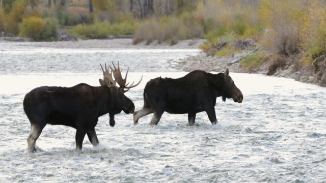 WS 4K shot of a bull moose (Alces alces) crossing a river during the rut