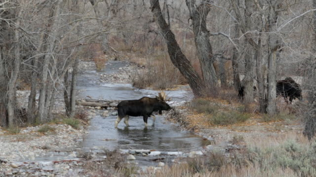 WS shot of a bull moose (Alces alces) crossing a stream during the rut
