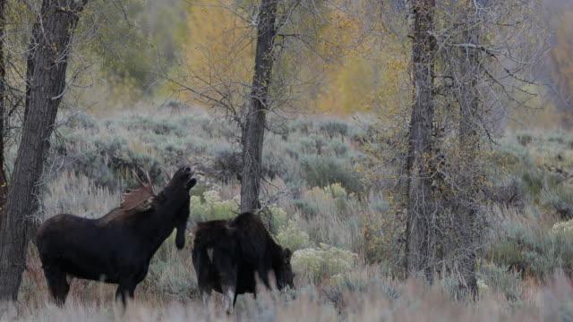 WS 4K shot of a bull moose (Alces alces) flehmen during the rut