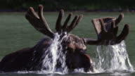STS 4K shot of a bull moose (Alces alces) in velvet lifting his antlers out of the water
