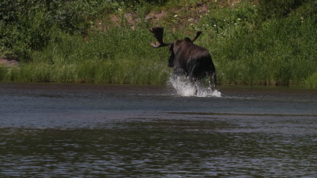 MS 4K shot of a bull moose (Alces alces) in velvet running through the water