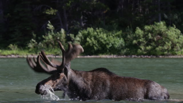 TS 4K shot of a bull moose (Alces alces) in velvet shaking his water soaked antlers